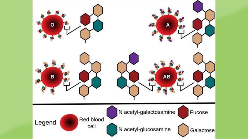 사진: 혈액형이란 적혈구에 붙어 있는 단백질의 종류에 따라 분류하는 것이다.